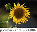 노랑, 꽃밭, 장엄한 39744002