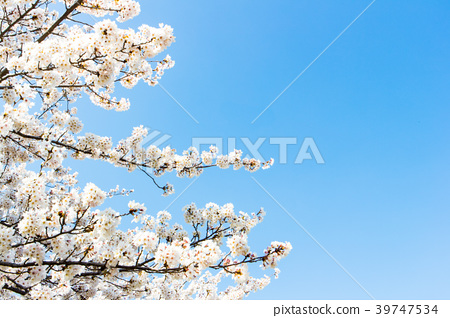 Cherry blossom with blue sky background template.  39747534