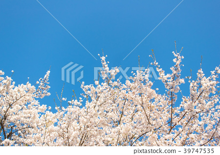 Cherry blossom with blue sky background template.  39747535