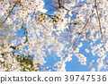 Cherry blossom with blue sky background template. 39747536