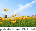 poppy, iceland, papaver 39748148