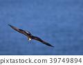 นก,เหยี่ยว,ปีก 39749894