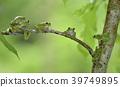 青蛙 树蛙 森林绿树蛙 39749895