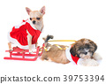 dogs and christmas 39753394