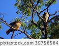 猛禽 鷹 野生鳥類 39756564