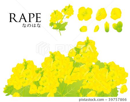 Rape blossoms 39757866