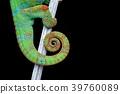 alive chameleon reptile tail 39760089