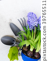 Gardening concept with hyacinth fresh flowers 39765511