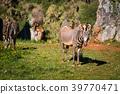 The Grevy s zebra (Equus grevyi), sometimes known 39770471