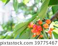 櫻桃 水果 甜櫻桃 39775467