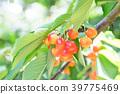 櫻桃 水果 甜櫻桃 39775469