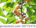 櫻桃 水果 甜櫻桃 39775470