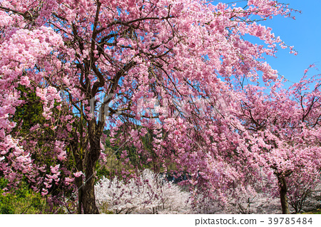 Sakura Pink of Yokotake Dam [Saga Prefecture Ureshino City] 39785484