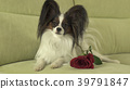 Dog Papillon with red rose in love on valentines 39791847