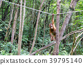 猩猩 類人猿 猭 39795140