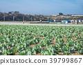 밭, 미우라 시, 양배추 밭 39799867