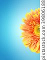 Yellow gerbera daisy flowers close-up isolated. 39806188
