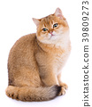 Animal, cat, pet concept - scottish cat on a white 39809273