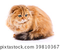 Animal, cat, pet concept - scottish cat on a white 39810367