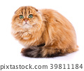 Scottish Fold cat 39811184