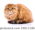 Adorable redhair Scottish Fold. Gold chinchilla 39811186