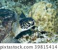 海龟 玳瑁海龟 海底的 39815414