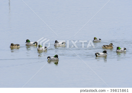 A flock of reed ducks 39815861