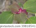 植物 植物学 植物的 39816541