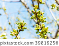 Blooming Cherry Tree. cherry begins to blossom 39819256