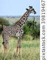 塞倫蓋蒂國家公園 動物 長頸鹿 39819467