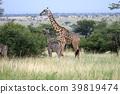 塞倫蓋蒂國家公園 動物 長頸鹿 39819474