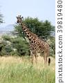 塞倫蓋蒂國家公園 動物 長頸鹿 39819480