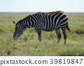serengeti, national, park 39819847