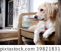cute lovely white long hair handsome young dog 39821831