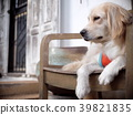 cute lovely white long hair handsome young dog 39821835