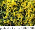 jasmine, jessamine, gelsemium 39825286