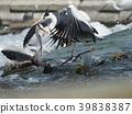 grey heron, flying, predator 39838387