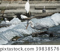 Egret / predation 39838576