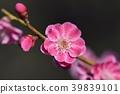 매화 (미토 가이 라쿠엔) 39839101