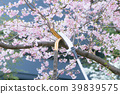桜枝 벌목 _2018.04.03 39839575