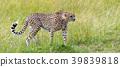 Wild african cheetah 39839818