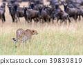 Wild african cheetah 39839819