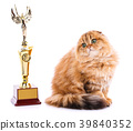 Gold chinchilla. Portrait of a Scottish Fold Cat 39840352