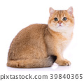 Portrait of a smooth-haired straight Scotch cat on 39840365