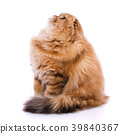 Scottish thoroughbred cat on a white background. 39840367