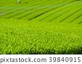 新鮮的綠茶種植園 39840915