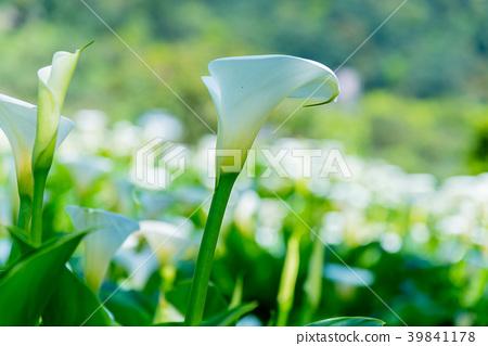 陽明山竹子湖海芋季 Calla lily season in Yangmingshan Taiwan 39841178
