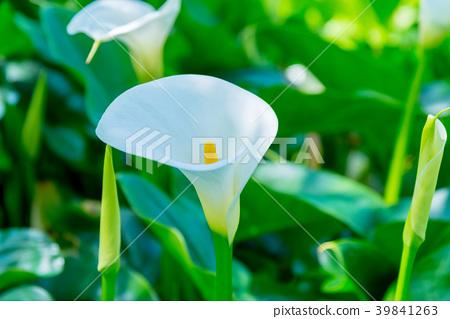 陽明山竹子湖海芋季 Calla lily season in Yangmingshan Taiwan 39841263