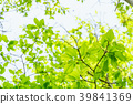 신록, 잎, 이파리 39841369