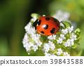 瓢蟲 花 蟲子 39843588